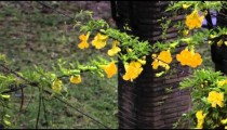 Yellow freesia flowers on overhanging wire in Rome
