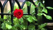 Single rose fluttering in wind on Roman fence