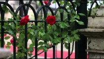 Red roses climbing on a Roman fence