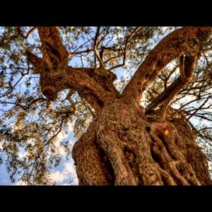Tracking time-lapse looking up through an olive tree.