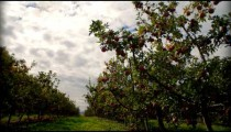 Time-lapse of clouds passing over an apple orchard.