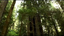 Tall trunks of pine trees