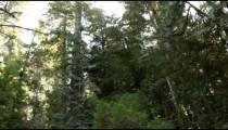 Tall pine tree trunks
