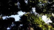 Canopy of tall pine trees