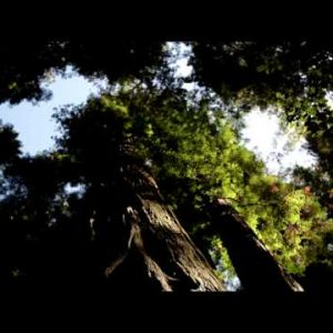 Canopy of very tall pine trees