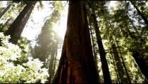 Sun breaks around pine trees