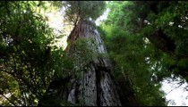 Large redwood tree trunk