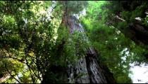 Huge redwood tree trunk