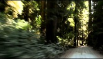 Driving down path in redwood forest