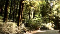 Driving down paved path in redwood forest