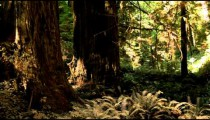 Redwood forest floor growth