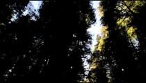Shadowed, dense redwood trees