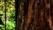 Large redwood trunk