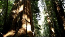 Ground and trees of redwood