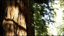 Trunk of redwood