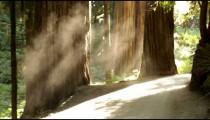 Sunlight lighting a misty redwood forest floor.