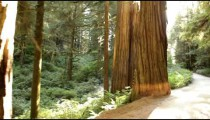 Redwood path near mid-day