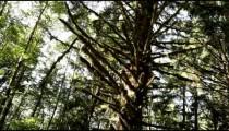 Mossy redwood