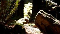 Weathered Log and Ferns Around Sunlit Forest Floor