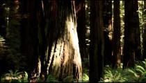 Panning Through California Forest