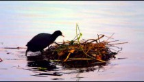 Black coot building a nest on water