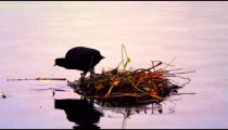 Coot leaving its nest