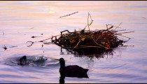 Three coots looking for food by the nest