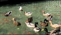 Close up of ducks competing for food in a pond.