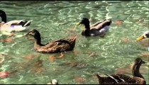 Ducks trying to get food in a pond.