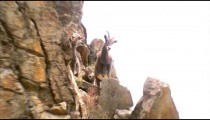 Mountain goats climbing on rocks.