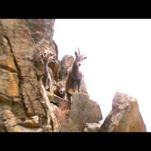 Mountain goats climbing on rocks.