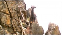 Group of mountain goats climbing on rocks.