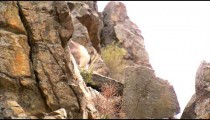 Hand held shot of mountain goats climbing on rocks.
