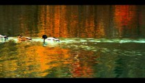 Royalty Free Stock Footage of Ducks swimming across a pond in Central Park, New York City.