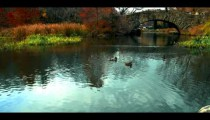 Royalty Free Stock Footage of Ducks swimming towards a bridge in Central Park, New York City.