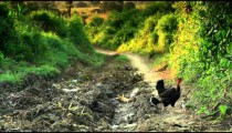 Chicken on a road in Africa.