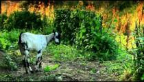 Leashed goat grazing in Kenya.