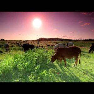 Herd of cows and goats grazing in Kenya.