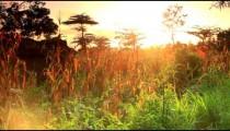 Vegetation in Kenya at sunset.