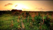 Cornfield at sunset near a village in Kenya.