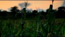 Corn stalks in Kenya.