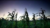 Corn stalk tops in Kenya.
