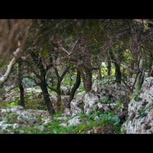 Royalty Free Stock Video Footage of rocky Carmel forest floor shot in Israel at 4k with Red.