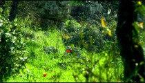 Royalty Free Stock Video Footage of red flowers in forest shot in Israel at 4k with Red.