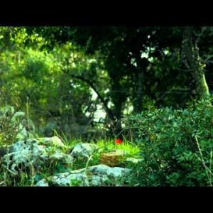 Royalty Free Stock Video Footage of Carmel mountain forest floor shot in Israel at 4k with Red.