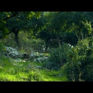 Royalty Free Stock Video Footage of windy Carmel mountain forest shot in Israel at 4k with Red.