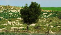 Royalty Free Stock Video Footage of a lone tree in a rocky meadow shot in Israel at 4k with Red.