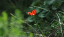 Royalty Free Stock Video Footage of a lone red flower in the breeze shot in Israel at 4k with Red.