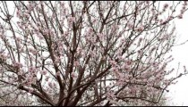 Royalty Free Stock Video Footage of pink blooming tree branches shot in Israel at 4k with Red.