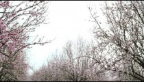 Royalty Free Stock Video Footage of blooming orchard branches shot in Israel at 4k with Red.